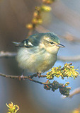 Cerulean Warbler female  