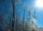 Ice Storm covering forest illuminated by sun