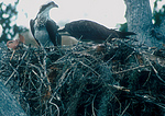 Osprey on nest feeding