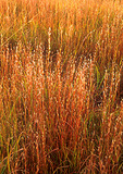 Little Bluestem in prairie