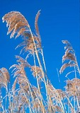 Frost covered Phragmites grass