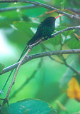 Streamertail Hummingbird or Doctor Bird