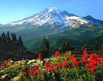 Indian Paintbrush, Tatoosh Range and Mt. Rainier