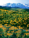 Balsam root blooms below the wallowa mountains
