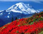 Mt. Rainier and huckleberry in autumn