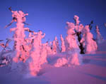 Iced pines and firs at timberline