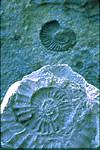 Ammonites in limestone