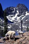 Mountain goats at Sheep Lake below He Devil