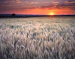 wheatfield at sunrise