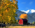 Cottonwoods and barn in October