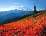 Mt. Rainier and huckleberry