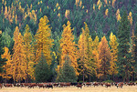 Western Larch and Cattle