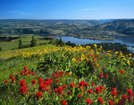 Wildflowers on Rowena Plateau overlooking the Columbia River