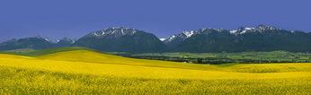 Canola Field and Wallowa Mountains