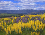 Blue and yellow lupine in the Blue Mountains
