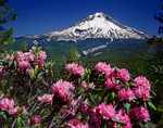 Mt. Hood and rhododendrons