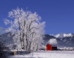 Frosted cottonwoods below the Wallowa Mountains