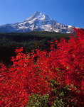 Mt. Hood and vine maple in October