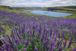 Lupines along the Columbia River near Wishram