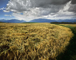 Wheatfield in the Wallowa Valley