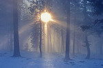 Pines and sunbeams in fog