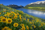 Balsam Root blooms on the East Moraine of Wallowa Lake