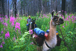 Llama packing in the Wallowa Mountains