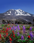 Mt. Adams with paintbrush and lupine