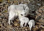 Mountain goats in the Wallowa Mountains