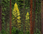 Larch in pine forest
