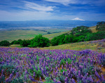 Mt. Hood from the lupine fields of Columbia Hills State Park