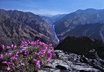 Snake River in Hells Canyon with flowering penstemon