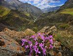 Imnaha River Canyon and blossoms of the beautiful and distinctive Snake River Phlox