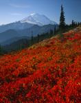 Huckleberry fields below Mt. Rainier