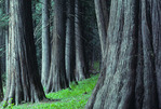 Cedars