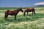 Horses in flowering field