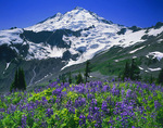 Mt. Baker and lupine