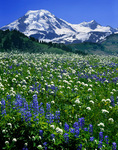 Mt Baker and wildflowers on Skyline Ridge