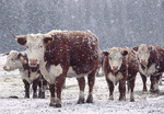 Cattle in snowstorm