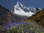 Nevado Quitaraju and lupines