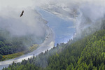 Golden eagle over the Klamath River nearing the Pacific Ocean