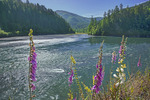Klamath River and foxgloves at the mouth of Blue Creek