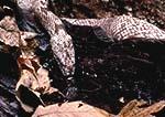 Gray rat snake (oak snake), Elaphe obsoleta spiloides, drinking water