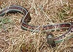 San Francisco garter snake, Thamnophis sirtalis tetrataenia.  Federal- and State-listed endangered species.