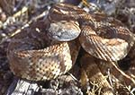 Panamint rattlesnake, Crotalus mitchellii stephensi, Death Valley National Park, California 
