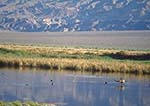 Canada goose and other waterfowl at Saratoga Spring, an oasis at the southern end of Death Valley