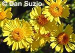 Bush sunflower or Acton encelia, Encelia actoni, Death Valley National Park