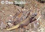 Western chuckwalla, Sauromalus obesus obesus, basking on rock, Death Valley National Park