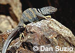 Great Basin collared lizard, Crotaphytus insularis bicinctores, Death Valley National Park