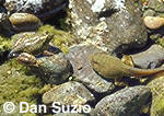 Bullfrog tadpole and froglet with partial tail